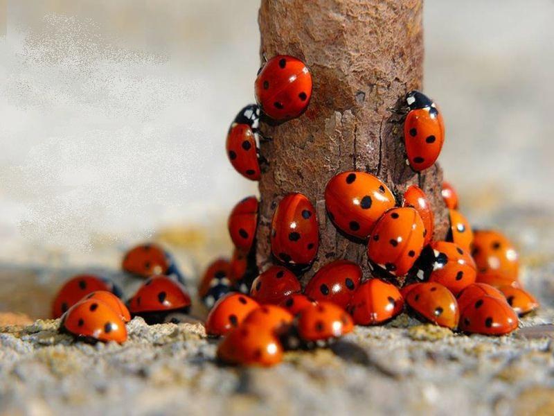Ladybirds%202011.jpg